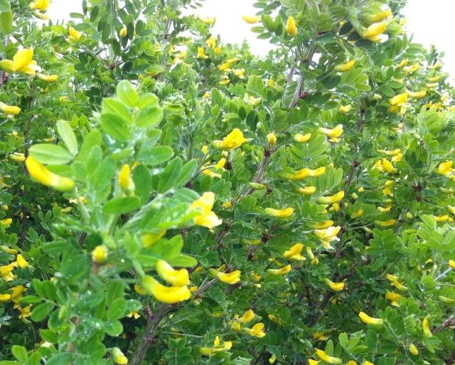 caragana flowers