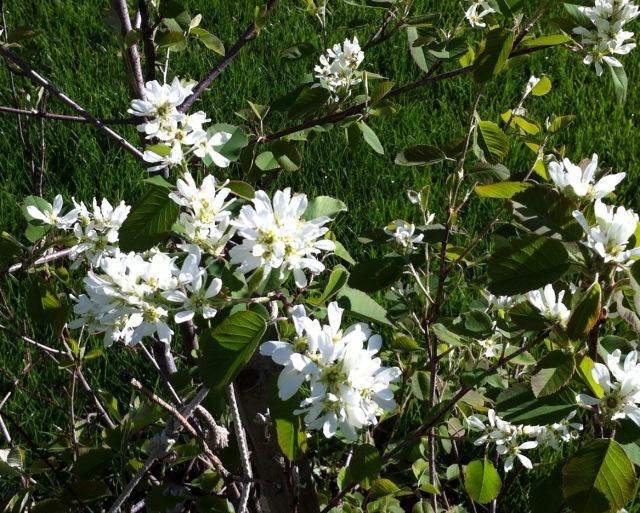 Saskatoon flowers